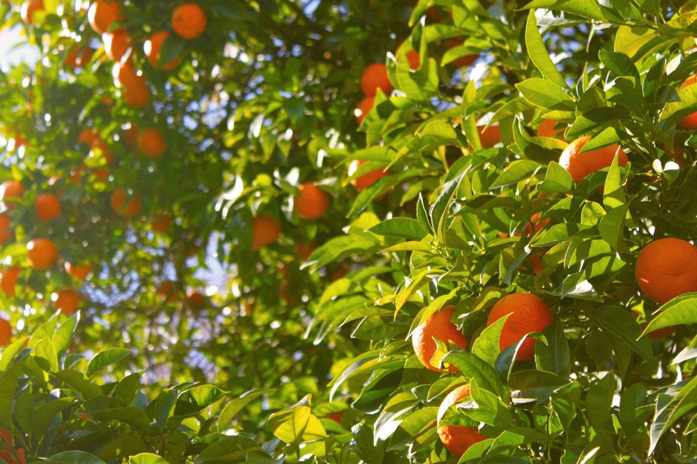 Orangen-Mallorca-Momente